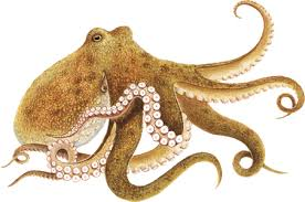 An Octopus without tentacles loses 60% of its brain function